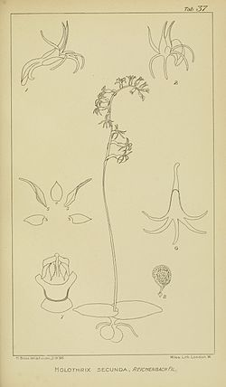Harry Bolus - Orchids of South Africa - volume II plate 037 (1911).jpg
