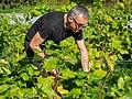 Harvesting grapes in Chateaux Luna vineyard 3.jpg