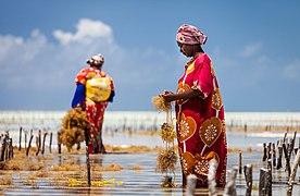 Harvesting seaweed in Jambiani.jpg