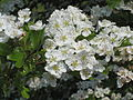 Hawthorn flowering on Duncan Down.JPG