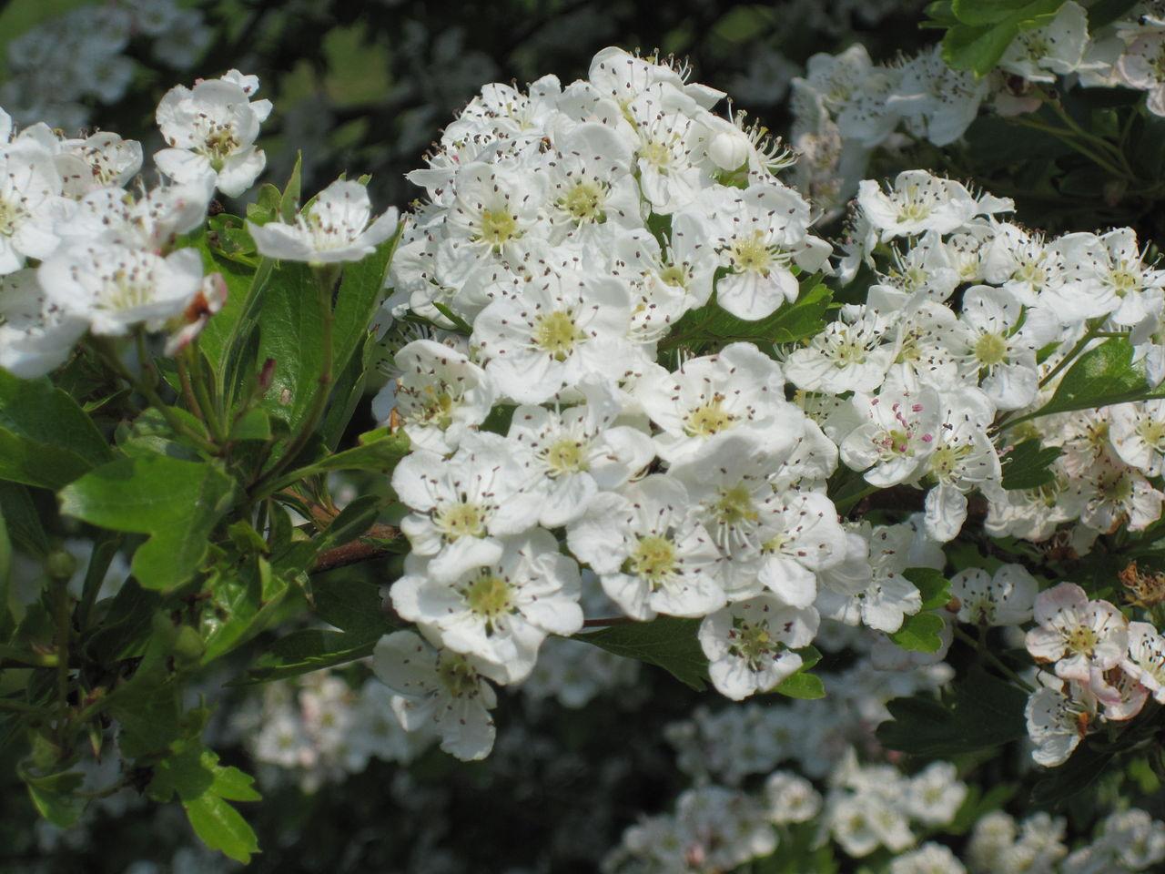 white Hawthorn bloom