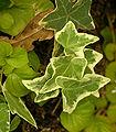 Hedera helix Leaf Closeup 2084px.jpg