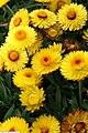 Helichrysum Dreamtime Jumbo Yellow 2zz.jpg