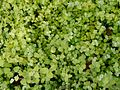 Helichrysum petiolare Aureum.jpg