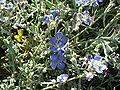 Heliophilia linearis var reticulata flowers.JPG