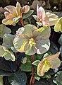 Helleborus x ballardiae 'Cinnamon Snow'.jpg