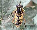 Helophilus pendulus (female).jpg