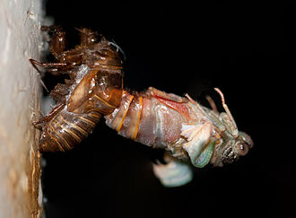 Nymph (biology) - A Henicopsaltria eydouxii nymph moults to reveal the mature form of the cicada
