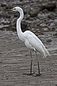 Henry the Great Egret at Shorncliffe-1 (6504380157).jpg