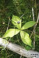 Herb Paris (Plansee) (24014878354).jpg