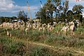 Herbe de la Pampa-Cortaderia selloana-20140921.jpg