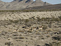 Herd of antelopes at the Nevada Test Site.jpg