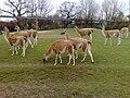 Herd of guanacos.jpg
