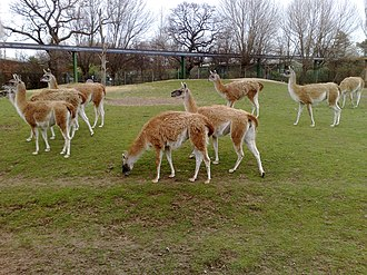 Guanaco - A herd of guanacos at Chester Zoo