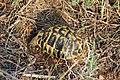 Hermann's tortoise - Testudo hermanni hermanni - panoramio (1).jpg