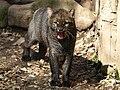 Herpailurus yagouaroundi Jaguarundi ZOO Děčín.jpg