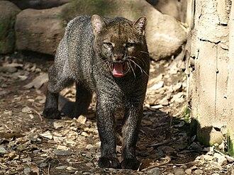 Jaguarundi - Captive jaguarundi