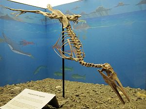 Hesperornithes - Restored skeleton of Hesperornis regalis