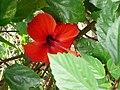 Hibiscus a calpe - panoramio.jpg