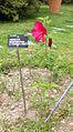 Hibiscus moscheutos - 1182.jpg