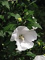 Hibiscus syriacus 'Diana' Ketmia syryjska 2009-07-20 03.jpg