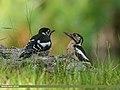 Himalayan Woodpecker (Dendrocopos himalayensis) (30556173442).jpg
