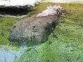 Hippopotamus amphibius1.jpg