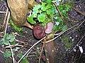 Hirneola auricula-judae PL3.jpg