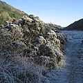 Hoarfrost covered gorse bushes in Cwm Ystwyth - geograph.org.uk - 1076252.jpg