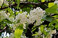 Holarrhena pubescens - കുടകപ്പാല . (33853654956).jpg