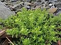Honckenya peploides subsp. major 1.JPG