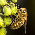 Honey Bee (Apis mellifera) on the Mahonia flowers.jpg