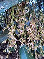 Hopea ponga flowers at Keezhpally (20).jpg
