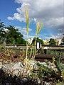 Hordeum murinum subsp. murinum sl4.jpg