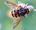 Hornissenschwebfliege Volucella zonaria male 3359.jpg
