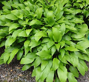 Academy of Natural Sciences of Drexel University - Hosta 'lancifolia'