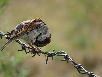 House Sparrow preening, Jim Corbett NP, Uttrakhand.jpg