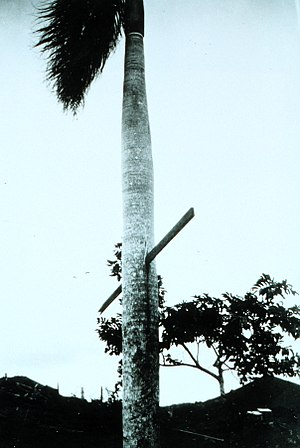 1928 Okeechobee hurricane - Hurricane-force winds drove this 10-foot (3 m) piece of 2x4 lumber through a palm tree in Puerto Rico.