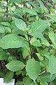 Hydrangea macrophylla subsp. serrata - Japan-Hortensie (2).JPG