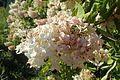 Hydrangea paniculata 'Grandiflora' kz4.jpg