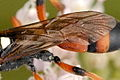 Ichneumon.sarcitorius9.-.lindsey.jpg