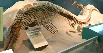 Tylosaurus - T. proriger specimen which was found with a plesiosaur in its stomach