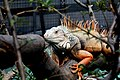 Iguana (12595639885).jpg