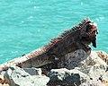 Iguana @ turquoise Caribbean Ocean (37932415865).jpg