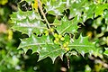 Ilex aquifolium in Aveyron (3).jpg