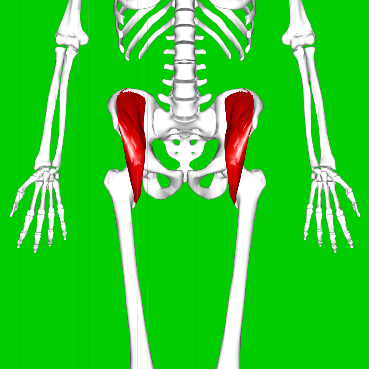 Corps Humain Os Zygomatique 15051 furthermore Stock Image Muscle Structure Supine Woman Image17701071 moreover 53 Types Of Teeth And Dental Decay besides Longest Muscle Of Human Body in addition How To Get Beautiful Dancers Feet 1006759. on 1 bone structure and position