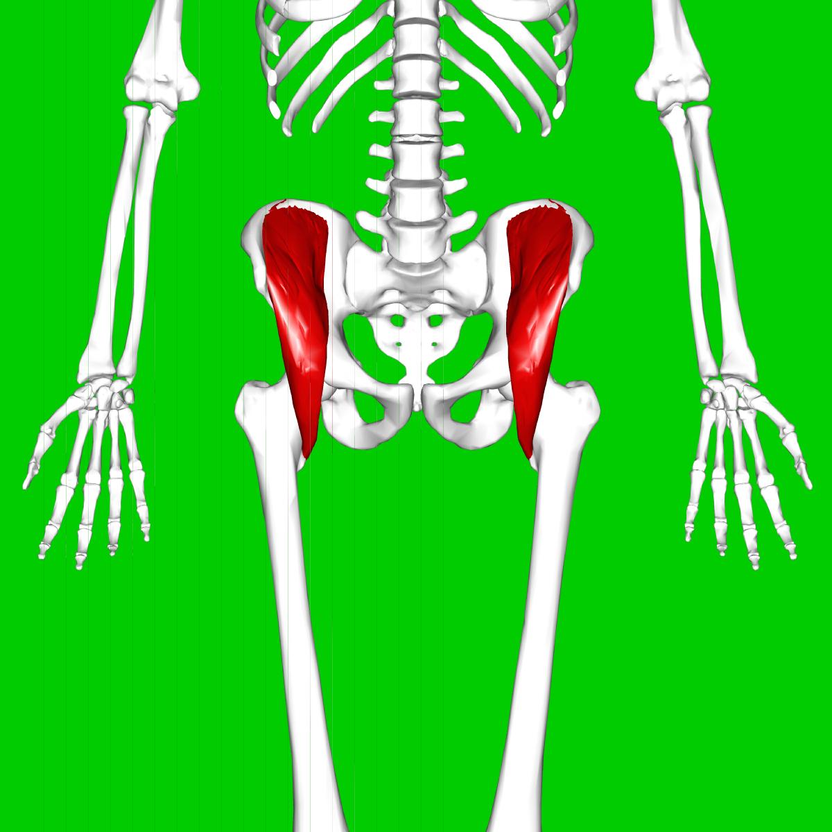 Músculo ilíaco - Wikipedia, la enciclopedia libre