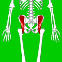 Iliacus muscle06.png