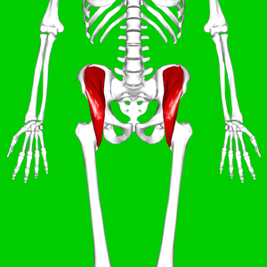 Iliacus muscle - Position of iliacus muscle (shown in red.)