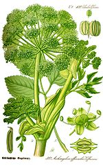 Illustration Angelica archangelica0 clean.jpg